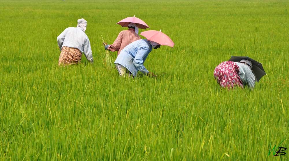 Kuttanadu Farmers