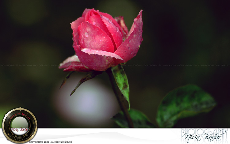 Rose-Garden16