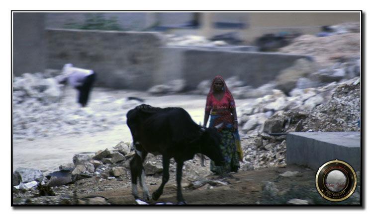 feeding-cow