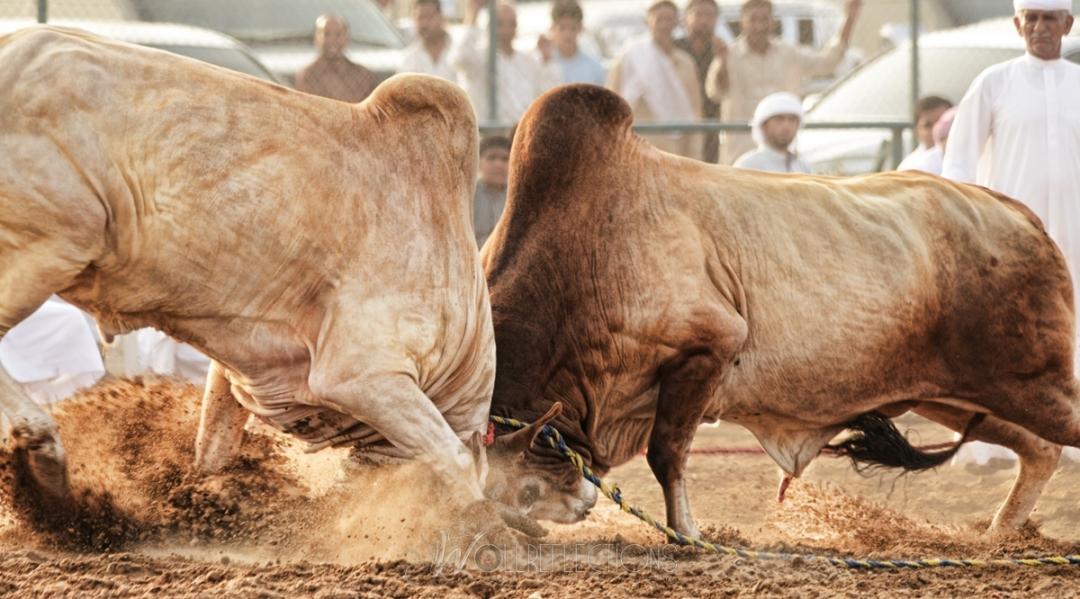 Bull fight @ Fujairah